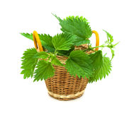 Nettle leaves isolated on white background Royalty Free Stock Photo