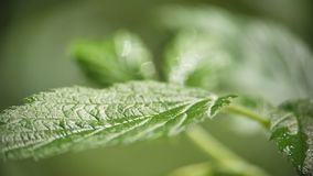 Nettle leaves swaying in the wind stock video footage