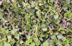 Nettle leaves on the table for drying Royalty Free Stock Photo