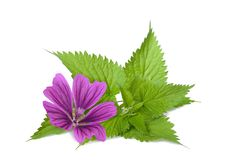 Nettle and mallow. Flower isolated on white background stock photo
