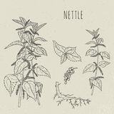 Nettle medical botanical isolated illustration. Plant, leaves, root, flowers hand drawn set. Vintage sketch. Royalty Free Stock Image
