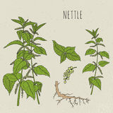Nettle medical botanical isolated illustration. Plant, leaves, root, flowers hand drawn set. Vintage sketch colorful. Royalty Free Stock Photos