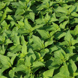 Nettle. For medicine and health Royalty Free Stock Photo