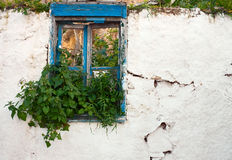 Nettle in old window Royalty Free Stock Photo