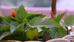 Nettle And Other Herbs In A Wicker Basket stock footage
