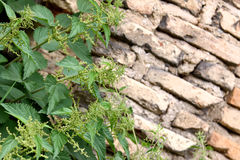 Nettle over wall. Brick wall ruins and green nettle. Perfect background with copy space on the right Stock Photography