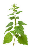 Nettle plant Stock Photo