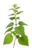 Nettle plant. High nettle plant isolated on white Stock Photo