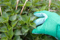 Nettle plant Royalty Free Stock Photography