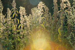 Nettle - plant against the light in the sunset Royalty Free Stock Photo