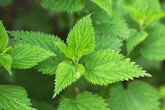 Nettle. Plant closeup in the forest stock photo