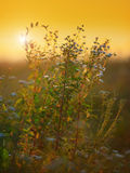 Nettle  plant and daisies against the light in the sunset light Stock Photo