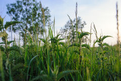 Nettle plant in field. Royalty Free Stock Photos