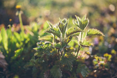 Nettle plant in field. Green natural background with soft bokeh. Selected focus. Royalty Free Stock Images