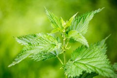 Nettle plant in the field. Green natural and warm day light background with soft bokeh Royalty Free Stock Photo