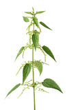 Nettle plant with flowers royalty free stock photo