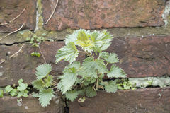 Nettle plant growing through an old brick wall Stock Photos