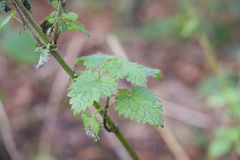 Nettle plant growing wild in woodland Stock Image