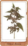 Nettle plant isolated stock photos