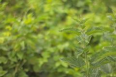 Nettle plant Stock Photography