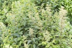 Nettle plant. Nettles, the general plan. Lat Urtica. Stalk with seeds of a plant. Close-up royalty free stock photography