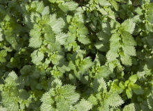 Nettle Plants Royalty Free Stock Image