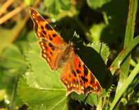 Nettle-rash. Butterfly (nettle-rash) on the leaf of grass Stock Photo