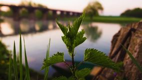 Nettle by river stock footage