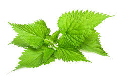 Nettle. Stinging nettle isolated on white background stock photos