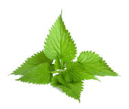Nettle. Stinging nettle isolated on white background royalty free stock photo