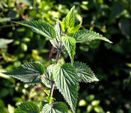 Nettle,Stinging nettle Royalty Free Stock Image