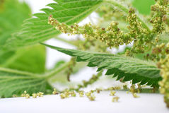 Nettle. Stinging nettle on white background royalty free stock photos