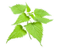 Nettle. Stinging wild nettle isolated on white background royalty free stock photos