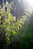 Nettle sun rays Stock Photo