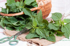 Nettle on the table. With scissors Royalty Free Stock Photo
