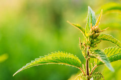 Nettle Twig, Stinging Nettle, Urtica Dioica In Summer Field. Close Up Stock Image