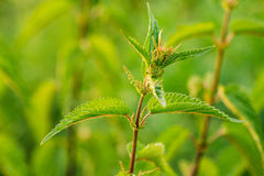 Nettle Twig, Stinging Nettle, Urtica Dioica In Summer Field. Close Up Royalty Free Stock Photography