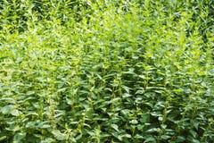Nettle. Urtica dioica dense green background, common nettle stock photos