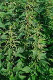 Nettle Royalty Free Stock Images