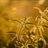 Nettle (Urtica dioica) - plant against the light Royalty Free Stock Photos