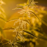 Nettle (Urtica dioica) - plant against the light Royalty Free Stock Photo