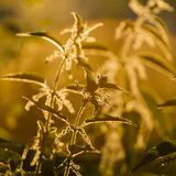 Nettle (Urtica dioica) - plant against the light Stock Photo