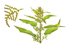 Nettle, Urtica L. Isolated on white Stock Image