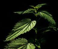 Nettle. Urtica. Urticaceae Stock Image