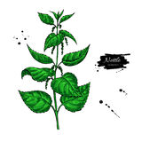 Nettle vector drawing. Isolated medical plant with  leaves. Herb. Al artistic style illustration. Detailed botanical sketch for tea, organic cosmetic, medicine Stock Images