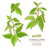 Nettle vector set. Nettle plant vector set on white background Stock Photo