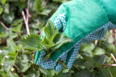 Nettle weed plant Stock Photos