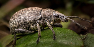 Nettle Weevil bug Royalty Free Stock Photos