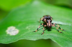 Nettle Weevil Phyllobius pomaceus on a green leaf Stock Photography