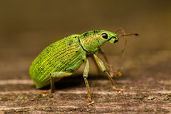 Nettle weevils Royalty Free Stock Photo